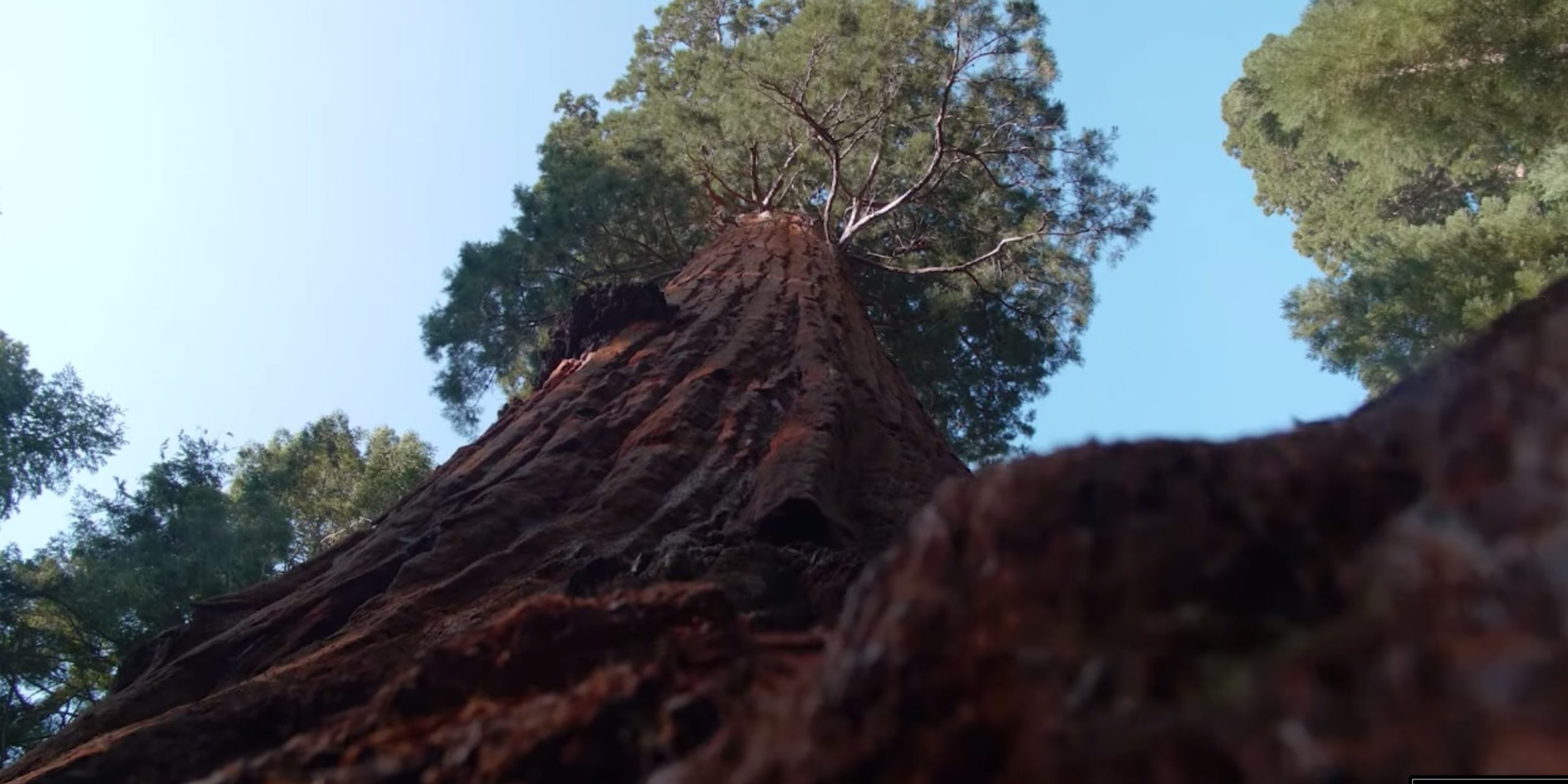 Photograph of a redwood tree from the ground
